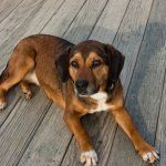Beagle Dachshund Mix
