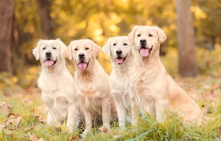 Golden Retrieverlar