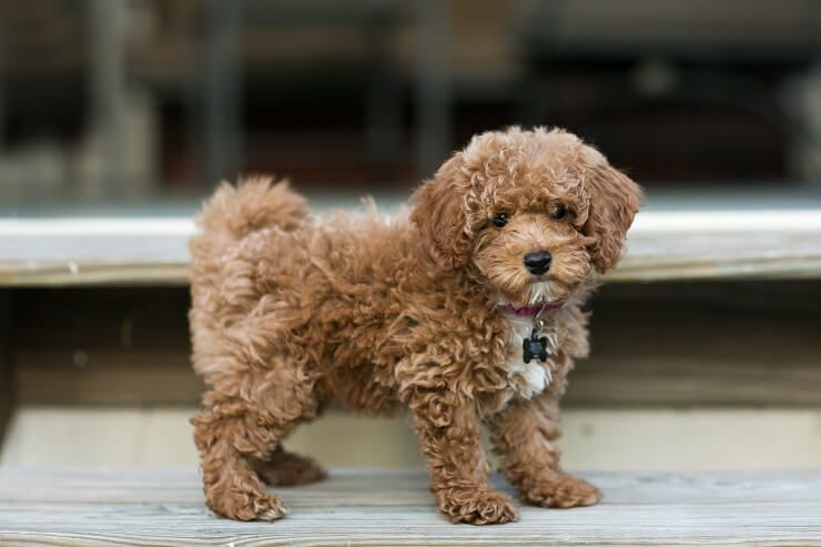 Bichon Poodle: Perfect Teddy Bear Mix?