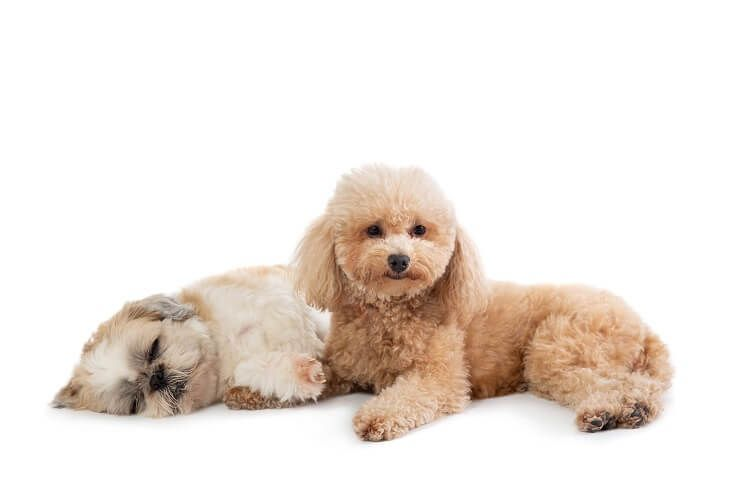 Shih Poo: Ultimate Pet Parent Care Guide and 7 Fun Facts