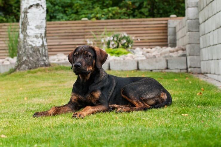 Saksa lambakoera rottweileri miksijuht: kõige lojaalsem valvekoer?