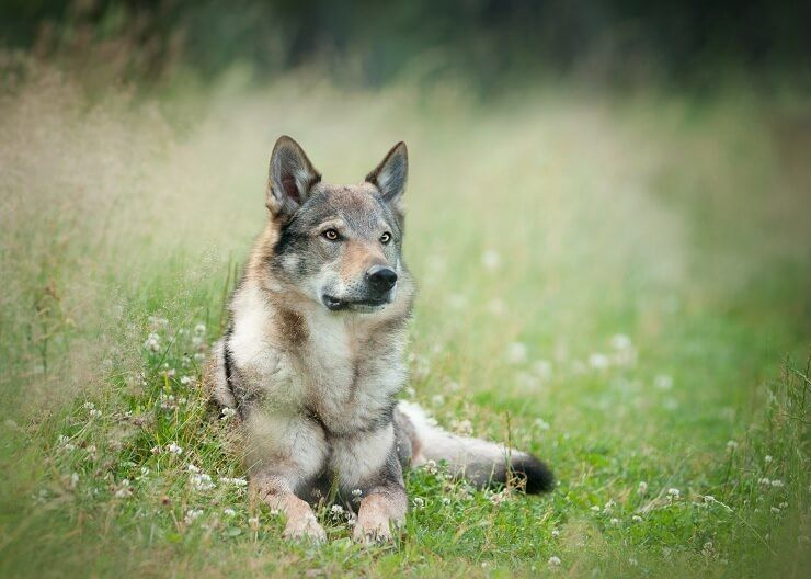 German Shepherd Wolf Mix: Is This Legendary Wolfdog Right For You?