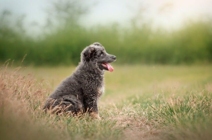 Мешавина пудлица немачког овчара: 6 чињеница које треба прочитати