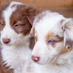 Filhotes Border Collie Australian Shepherd Mix
