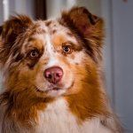 Um Border Collie Australian Shepherd Mix