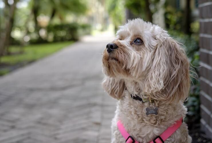 Cavapoo: ce qu'il faut savoir sur ce superbe chien de famille