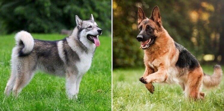 Ръководство за американска елзаска порода: Това ли е най-доброто куче вълк?