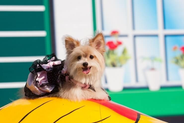 Yorkie Pomeranian Mix: 6 Must Know Facts About Yoranians