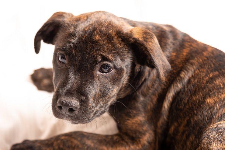 Brindle Pitbull Guide complet: gardien de la famille ou chien dangereux?