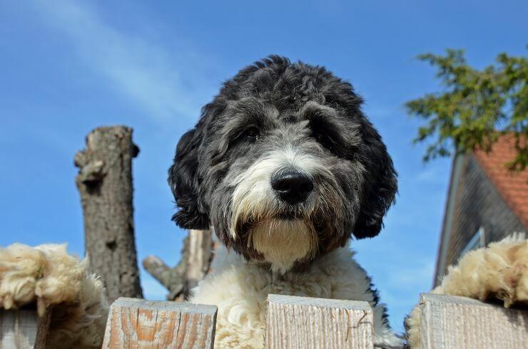 Aussiedoodle: האם כלב הדובון הזה מתאים למשפחה שלך?