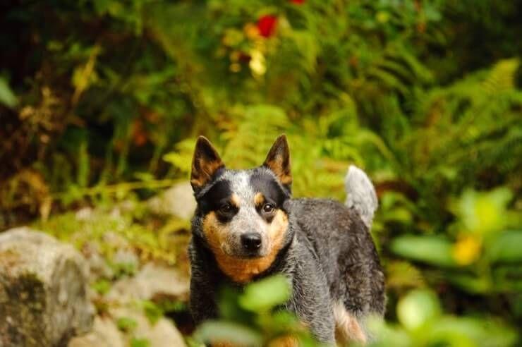 Аустралијски сточни пас: да ли је ово крајњи псећи пас?