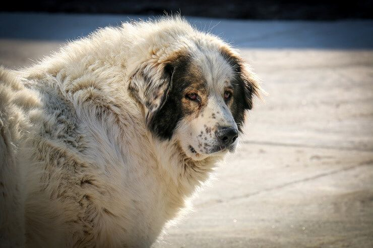 כלב דובי רוסי: האם הענק העדין הזה מתאים לכם?