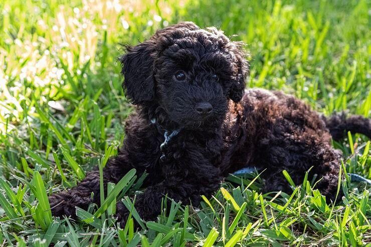 מידע על גזע כלבים שנודל: כל מה שאתה צריך לדעת