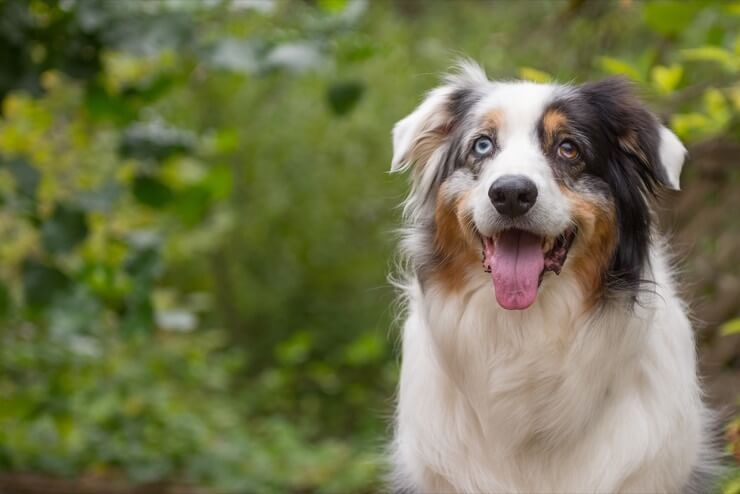 Australian Shepherd German Shepherd Mix: 7 faits à lire absolument