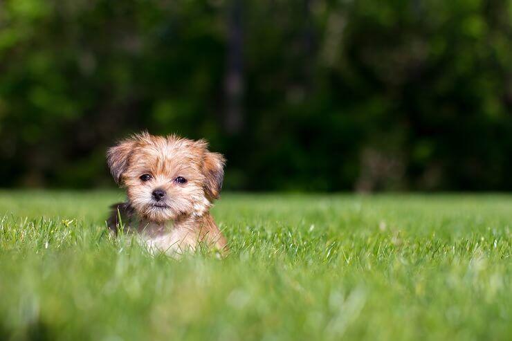Shorkie: Informacije o pasmini i 7 činjenica koje moraju znati za roditelje kućnih ljubimaca