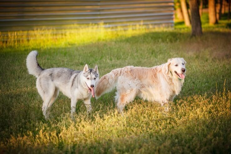Husky e Golden Retriever