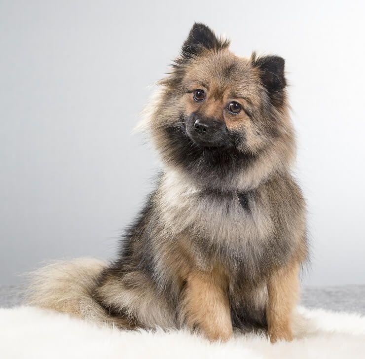 Alman Spitz: Bu Oyuncu, Yetkili Köpek Hakkında Bilmeniz Gerekenler!
