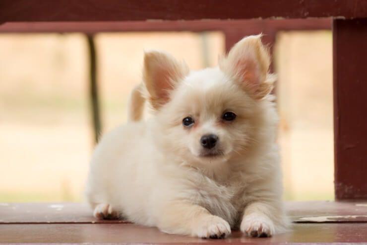 Pomeranian Chihuahua Mix Bakım Rehberi: Alıngan ve Tüylü Bir Arkadaş