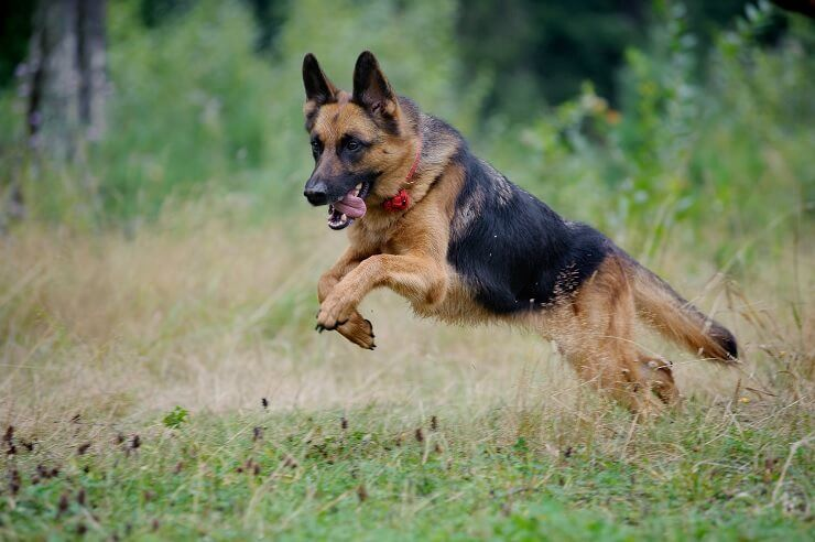 German Shepherd Names: 300+ Greatest Names For Your Pup